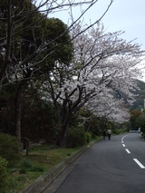 2007march31緑道の桜