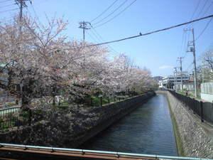 2010年4月8日小泉桜