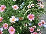 2007May18モトマチのプランターの花