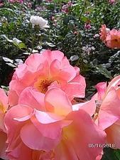 大佛次郎記念館前のバラ