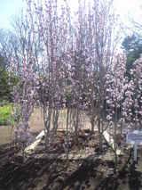 2009年3月10日フラワーセンター照手姫 桜