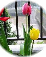 新潟支援チューリップ2006春咲