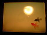 2009年6月10日メビウスジャケット金魚