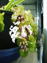 2006Oct19シソ科風花を咲かせる多肉植物