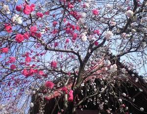 2010年3月30日源平桜