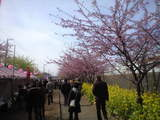 2009年2月19日河津桜1