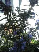2009年3月2日ローズマリーの花