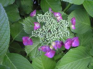 2010年6月6日紫陽花パープルがく紫陽花