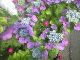 2009年6月9日紫陽花2
