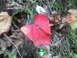 2010年10月17日自然園の赤い葉