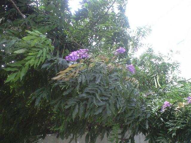 2009年7月29日藤の花