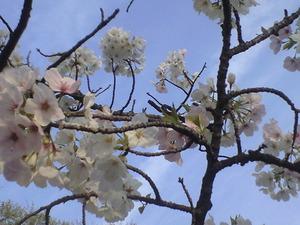 2011年4月10日桜