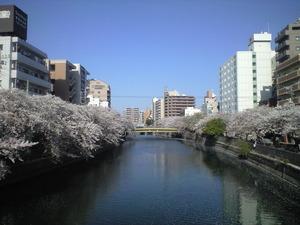 2011年4月13日大岡川桜2