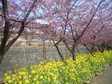 2009年2月19日河津桜2