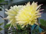 2006Nov24ベランダの菊 友ヤン昨年大輪栽培