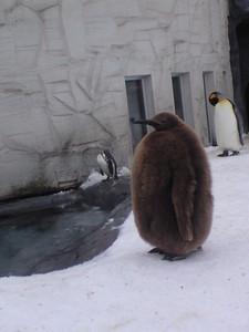 2010年2月8日ペンギン幼生