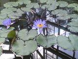 2009年3月10日フラワーセンター温室の睡蓮