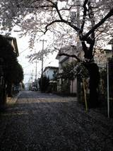2008MARCH31桜散る