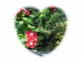 2007AUG28ローズマリーと日々草の自生の寄せ植え