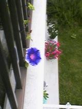 2006年8月2日今年の朝顔初咲き