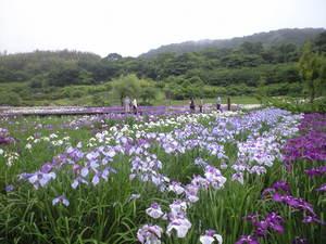 2010年6月15日横須賀菖蒲園1