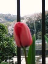 咲いた!チューリップの花が