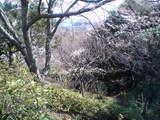 2008MARCH26桜ちらほら