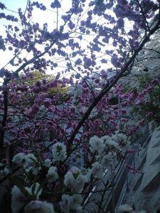 2011年4月13日源平桃と桜