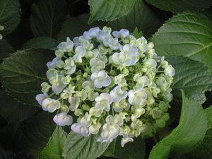 2010年6月6日紫陽花白丸い花びら