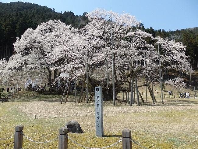 根尾谷淡墨桜1