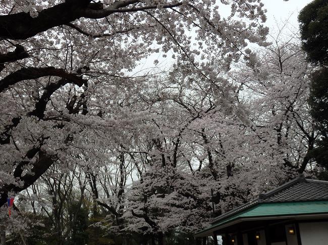 飛鳥山・満開の桜4