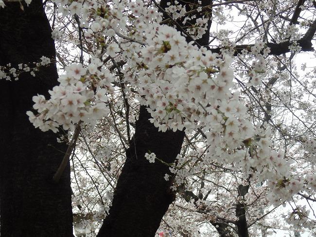 飛鳥山・満開の桜2