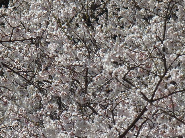 根尾谷淡墨桜2