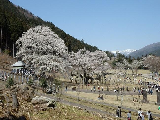 展望台から観た根尾谷淡墨桜