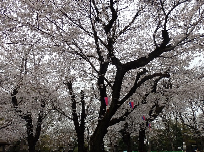 飛鳥山・満開の桜3