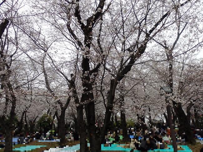 飛鳥山・満開の桜1