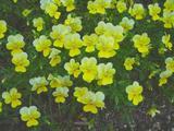 中電黄色い花
