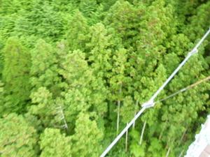 吊橋から杉
