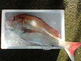 2008/12/17 真鯛