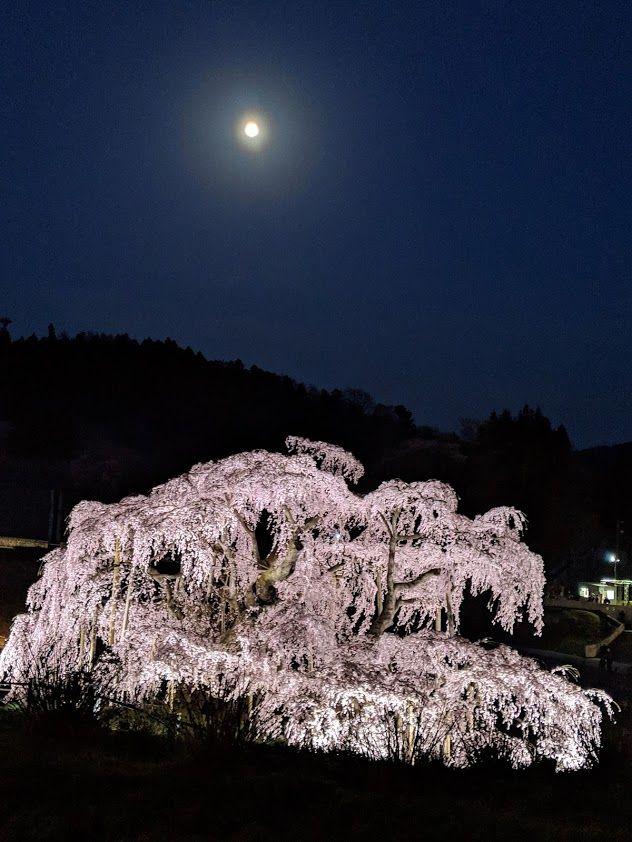 0418滝桜夜6