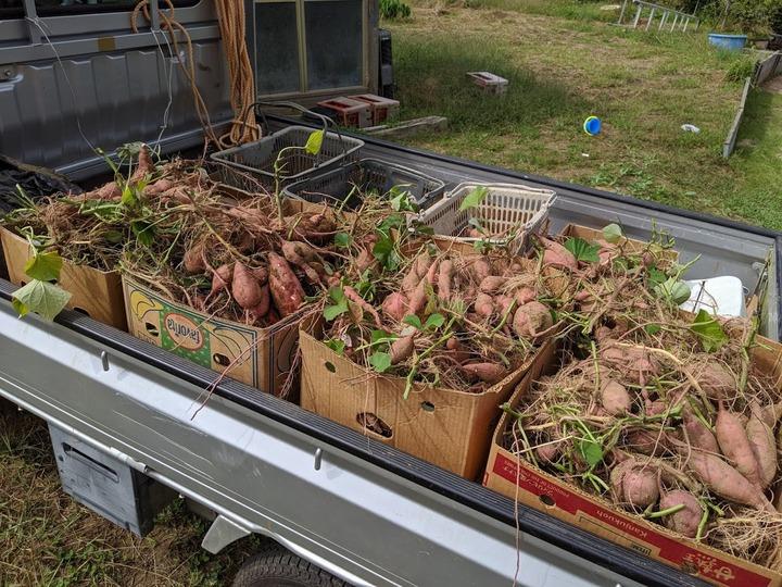 1004安納芋収穫