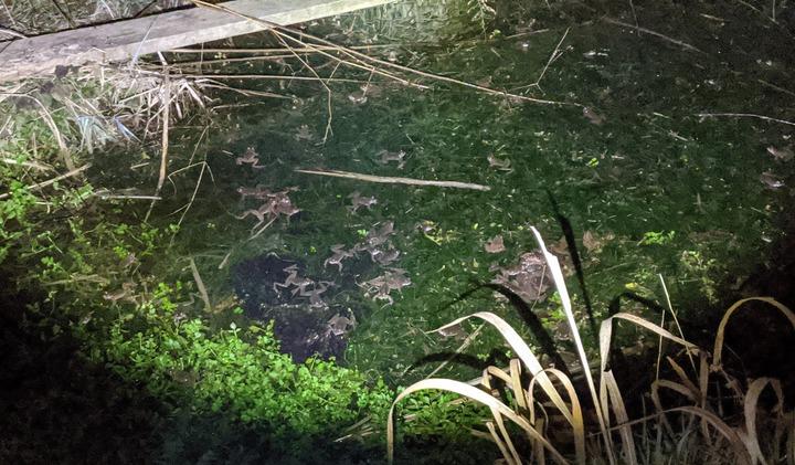 0130カエルの繁殖行動