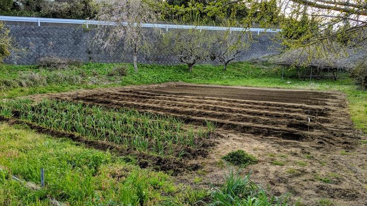 0420サトイモ植え付け
