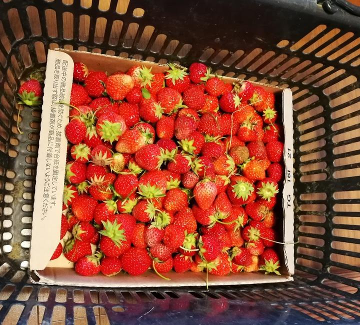 0517いちごの収穫2