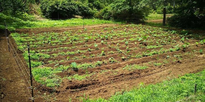 0608サトイモ畑