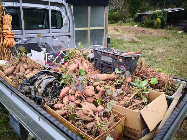 1018サツマイモ収穫