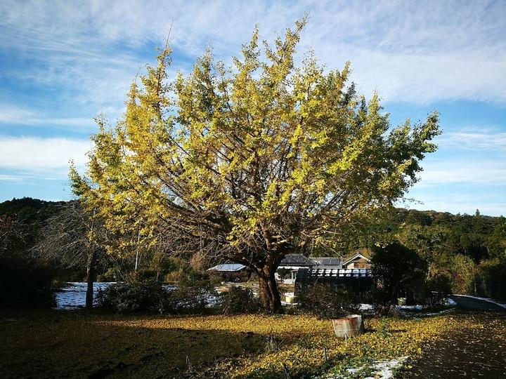 1006銀杏の木
