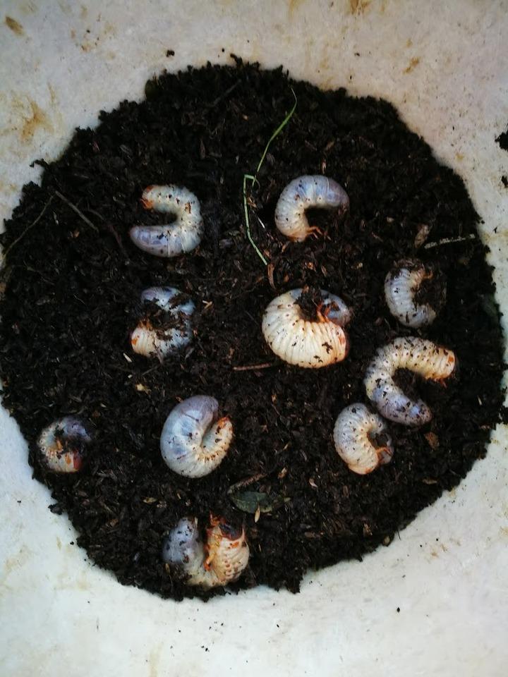 1223カブトの幼虫2