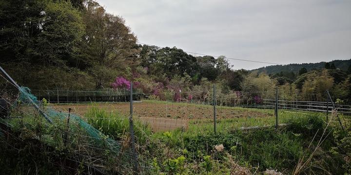 0412芋畑と岩つつじ