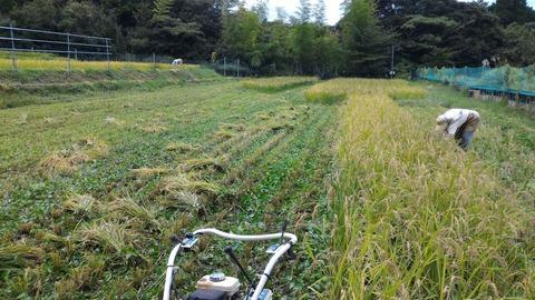 0916イネ刈り風景.JPG